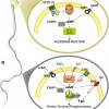 Central role of soluble adenylyl cyclase and cAMP in sperm physiology