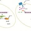A genetic screen for mutations affecting temperature sensing in Bacillus subtilis