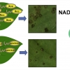 A novel Xanthomonas citri subsp. citri NADPH quinone reductase involved in salt stress response and virulence
